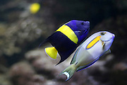 Israel, Eilat, Coral reef and fish in the Red Sea