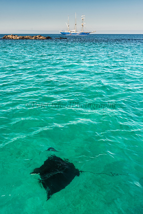 Spotted eagle ray (Aetobatus narinari)<br /> Santa Fe Island<br /> Galapagos Islands<br /> Ecuador<br /> South America