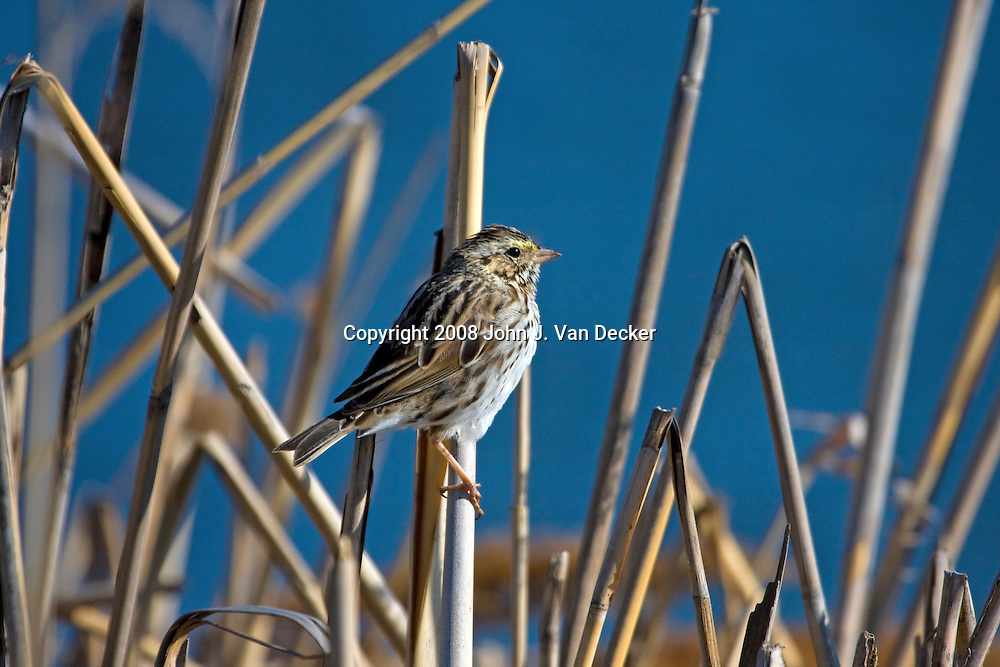 Savannah Sparrow, Passerculus sandwichensis, in a salt marsh