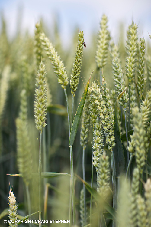 Close up and shallow focus on wheat in a field