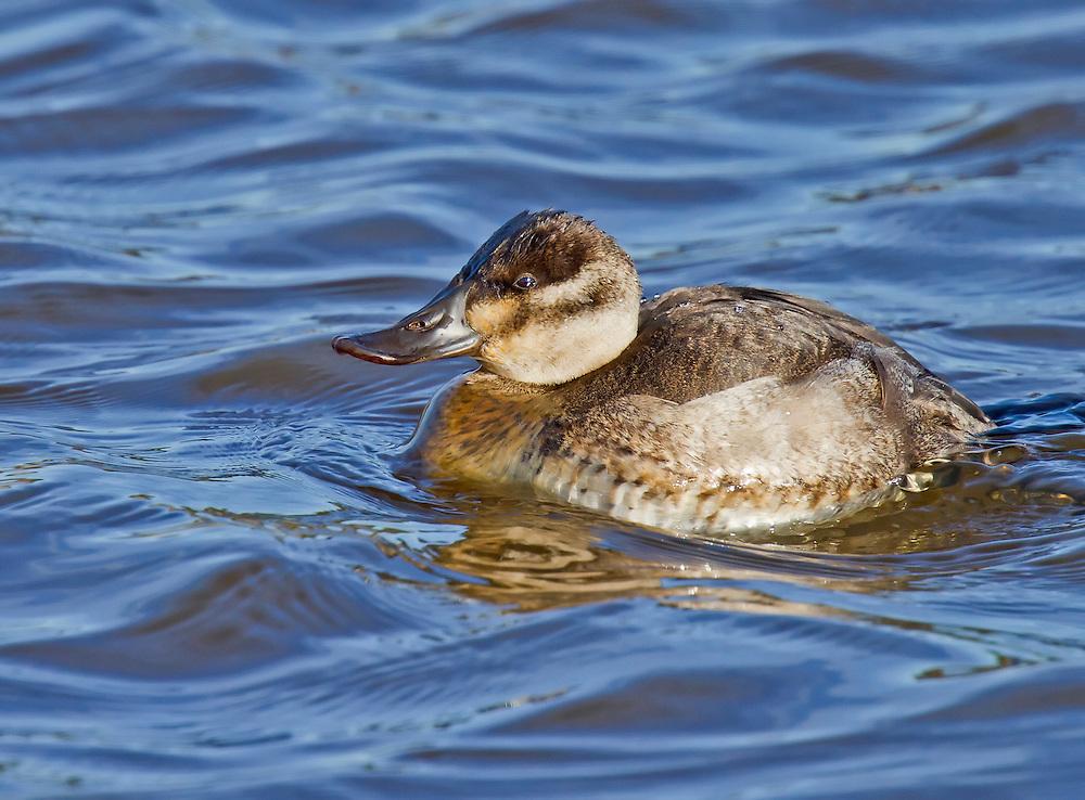Female Ruddy Duck in winter plumage