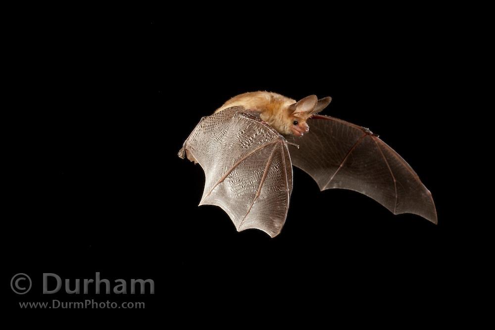 A pallid bat (Antrozous pallidus) flying at night near Sulphur Springs, high-desert habitat, Washington.