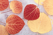Fall aspen leaves on snow, Inyo National Forest, Sierra Nevada Mountains, California