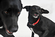 2 black dogs on white background