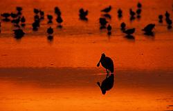 Sanibel, FL..Sunset silhouette of a roseate spoonbill, Ajaia ajaja, on the tidal flats at Ding Darling National Wildlife Refuge.