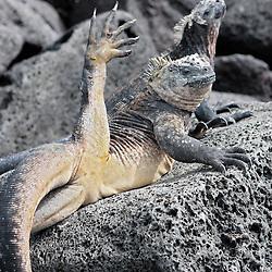 Eine Meerechse (Amblyrhynchus cristatus) ruht mit Artgenossen auf einem Lavafelsen und streckt ,wie bei einer Yoga Übung, ein Bein senkecht in die Luft. - A marine Iguana  resting with fellows on a lava rock and stretching a leg as if it would do some yoga. Santa Cruz, Galapagos, Ecuador.