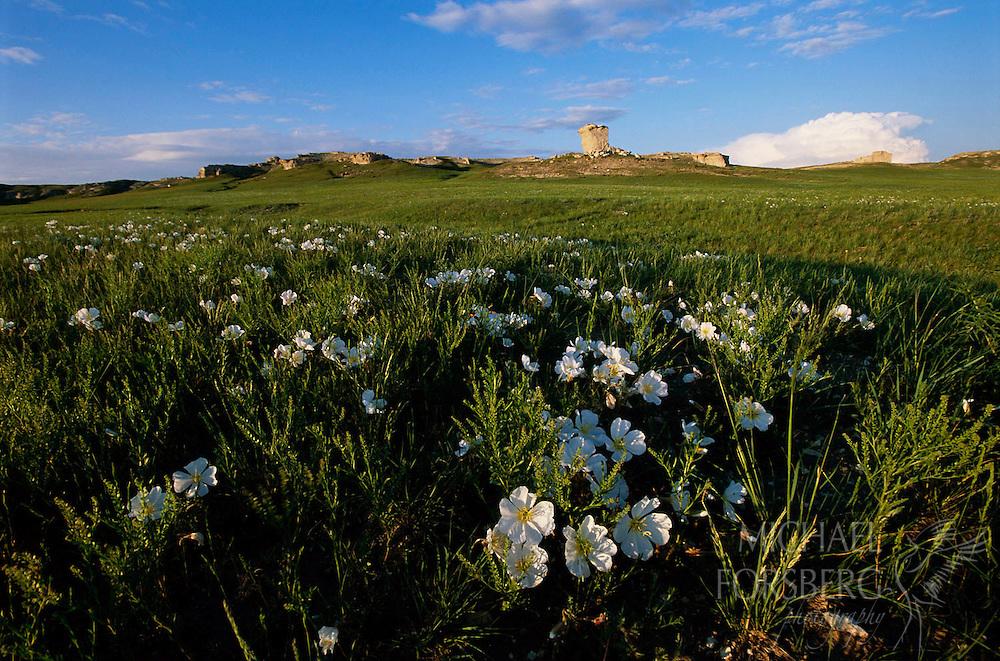 Shortgrass prairie, evening primrose. Sioux County, Nebraska.