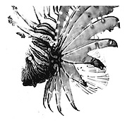 Black and white ART print of a Lion fish. This will happily print to a meter plus. If you want a larger print please do contact me.