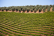 Olive trees and vineyards in the Franschhoek Valley, South Africa.