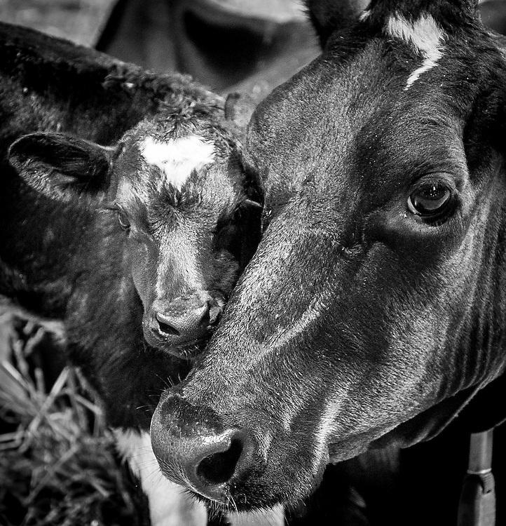 Cow nurturing her newborn calf.