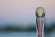 "FLORIDA BROWN PELICAN PORTRAIT, ""HERE'S LOOKING AT YOU"""