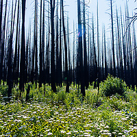 burned forest in the badger two medicine area
