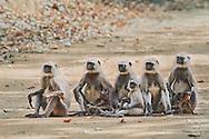 Langur monkeys, Bandhavgarh National Park, Madhya Pradesh, India / Monos langur, Parque Nacional Bandhavgarh, Madhya Pradesh, India