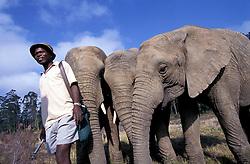 Orphan elephants with warden nr. Knysna (Credit Image: © Axiom/ZUMApress.com)