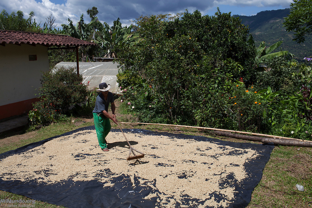 Luis Alfonso Yagarí, 48, an Embera Chami coffee producer from the Karmata Rua Indigenous Reserve, dries his coffee harvest. Karmata Rua-Cristianía, Jardín, Antioquia, Colombia. October 6, 2013.