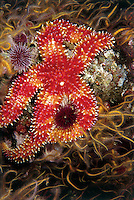 Rainbow Starfish ,Orthasterias koehleri,, Pacific Coast of North America.