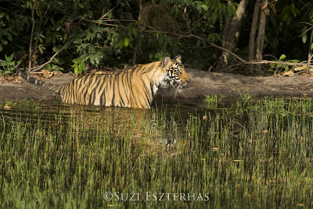 Tiger <br /> Panthera tigris<br /> 1.5 year old cub coolong off at waterhole<br /> Bandhavgarh National Park, India<br /> *Endangered species