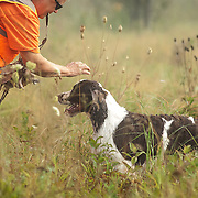 Photography from the Wisconsin English Springer Spaniel Association (WESSA) Hunt Test, August 31- September1, 2013.  The event took place at the Bong Recreation Area in Burlington, WI.  Photography by Melody Carranza.
