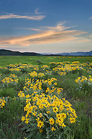 Sunset over meadows of Balsamroot (Balsamorhiza sagittata) at Antelope Flats, Grand Teton National Park Wyoming