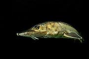 [captive]  European Sturgeon (Acipenser sturio) photogrphed at the captive breeding programme in Berlin, Germany | Europäischer Stör (Acipenser sturio)