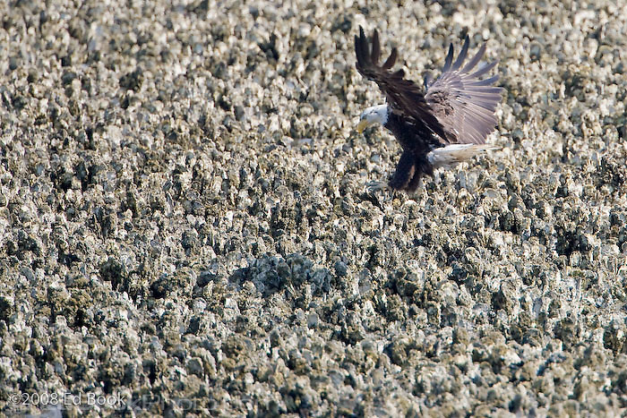 An immature Bald Eagle makes a landing approach in an oyster bed during a minus low tide along the shore of the Hood Canal, a part of Puget Sound, Washington, USA