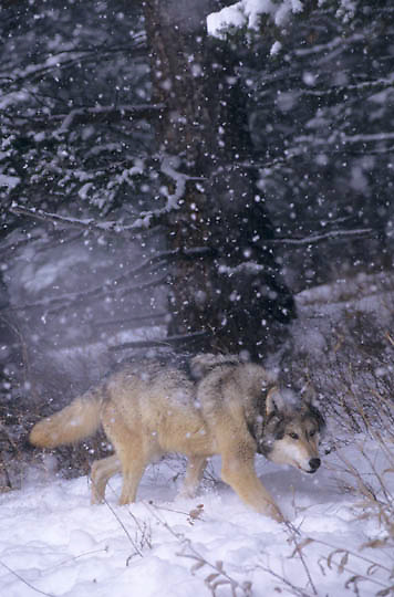 Gray Wolf, (Canis lupus) Adult running. Winter. Rocky mountains. Montana.  Captive Animal.
