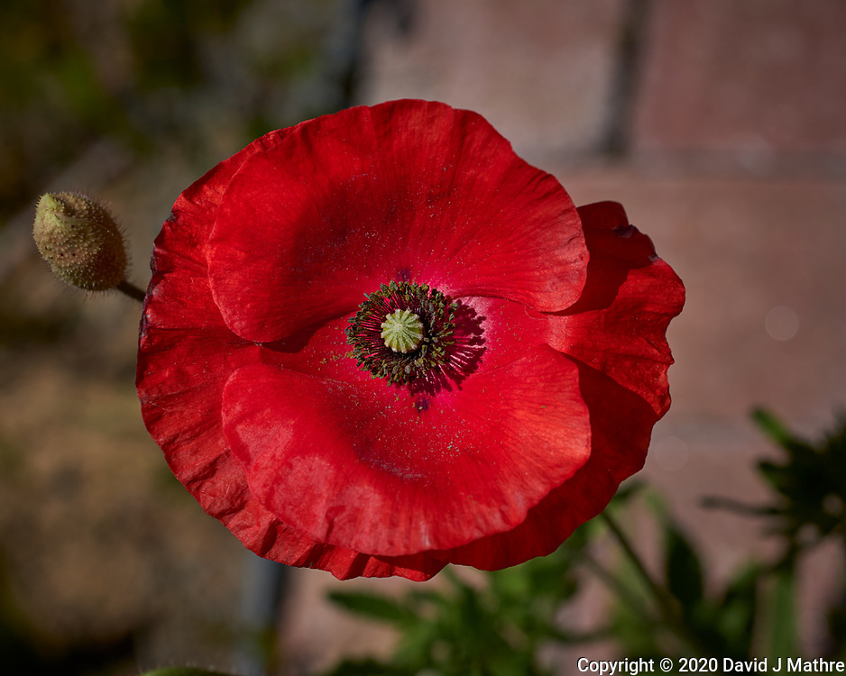 Red Oriental Poppy. Image taken with a Leica CL camera and 60 mm f/2.8 lens (ISO 100, 60 mm, f/5.6, 1/1600 sec).