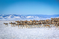 The pronghorn antelope migration is one of the longest overland mammal migrations in North America.
