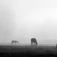 Horses in Fog - Cades Cove, GSMNP