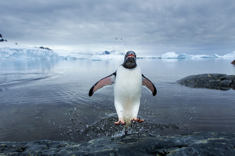 Antarctica, Cuverville Island, Gentoo Penguin (Pygoscelis papua) leaping from ocean onto rocky shoreline near rookery