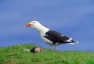 Greater black-backed gull killed Atlantic puffin in mid-air, Larus marinus, Scotland