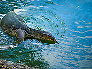 17 MARCH 2018 - BANGKOK, THAILAND: A monitor lizard in a pond in Lumpini Park in Bangkok, Thailand. The park is famous for the number of monitor lizards that live in it.      PHOTO BY JACK KURTZ