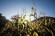 Domingos Martins_ES, Brasil...Plantacao de milho estrada historica denominada Rota Imperial da Estrada Real, antiga estrada Dom Pedro de Alcantra...A corn plantation next to ancient Rota Imperial, know as Dom Pedro de Alcantara road...Foto: LEO DRUMOND / NITRO