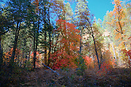 Forest alive with Fall colors - Oak Creek Canyon, AZ