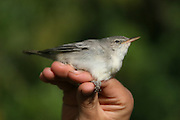 Olive-tree Warbler (Hippolais olivetorum) held for ringing