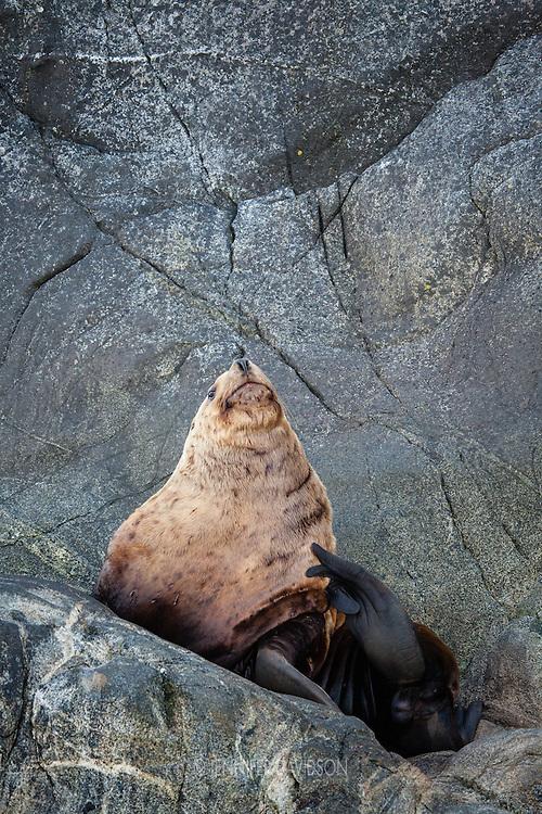 A male steller sea lions in the Inian Islands, Southeast Alaska.