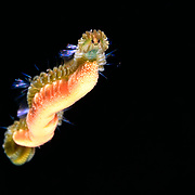 This is a head-on view of a polychaete worm in the Syllidae family, perhaps a Epigamia magna. Normally benthic residents, these segmented worms transition to sexually mature pelagic epitokes for the purpose of reproduction (as pictured here, carrying thousands of eggs). This individual was part of a swarm comprising many thousands of worms split up across multiple groups swimming in shallow water (surface to around 7m depth). I came across this aggregation in the 10 days leading up to full moon. Though I was unable to witness spawning, it seems that spawning took place after dark. Spawning did not appear to be synchronized. The swarm began to decrease in numbers after the full moon, suggesting the possibility of sequential spawning over a period of days.