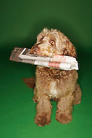 Otterhound carrying newspaper in mouth