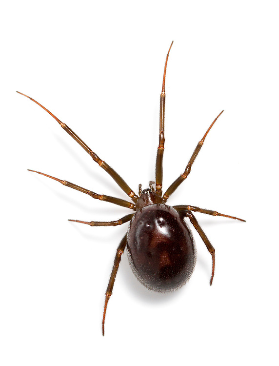 Steatoda grossa - female. With its dark, shiny, globular body is  the most Black Widow-like of our false widow spiders and it is common in dark corners of houses and outbuildings in southern Britain. The young female spiders have clear pale forward-pointing chevrons on the dark abdomen which fade as they get larger but are usually still just visible. The spider can deliver a nip but does not have the reputation for causing pain as has Steatoda nobilis.