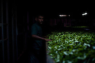 Factory workers sift through freshly plucked tea leaves for processing at a plant near the town of  Hatton in the hill country in central Sri Lanka December 14, 2009. After being picked leaves are wilted overnight then dried and ground with in 24 hours to produce tea for auction.