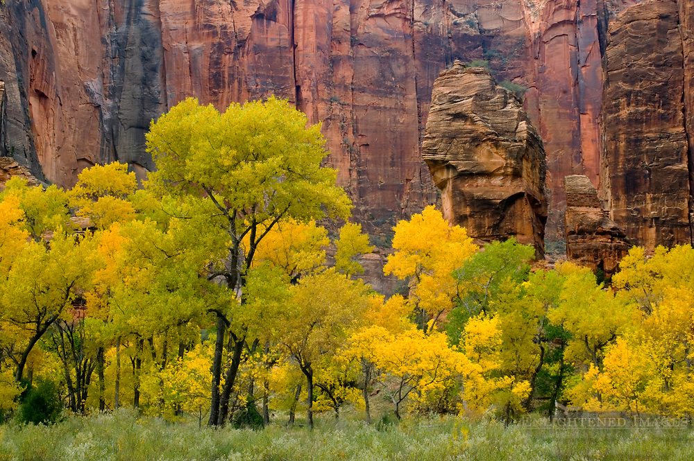 Fall foliage on trees below red rock cliffs and The Pulpit, Zion Canyon, Zion National Park, Utah
