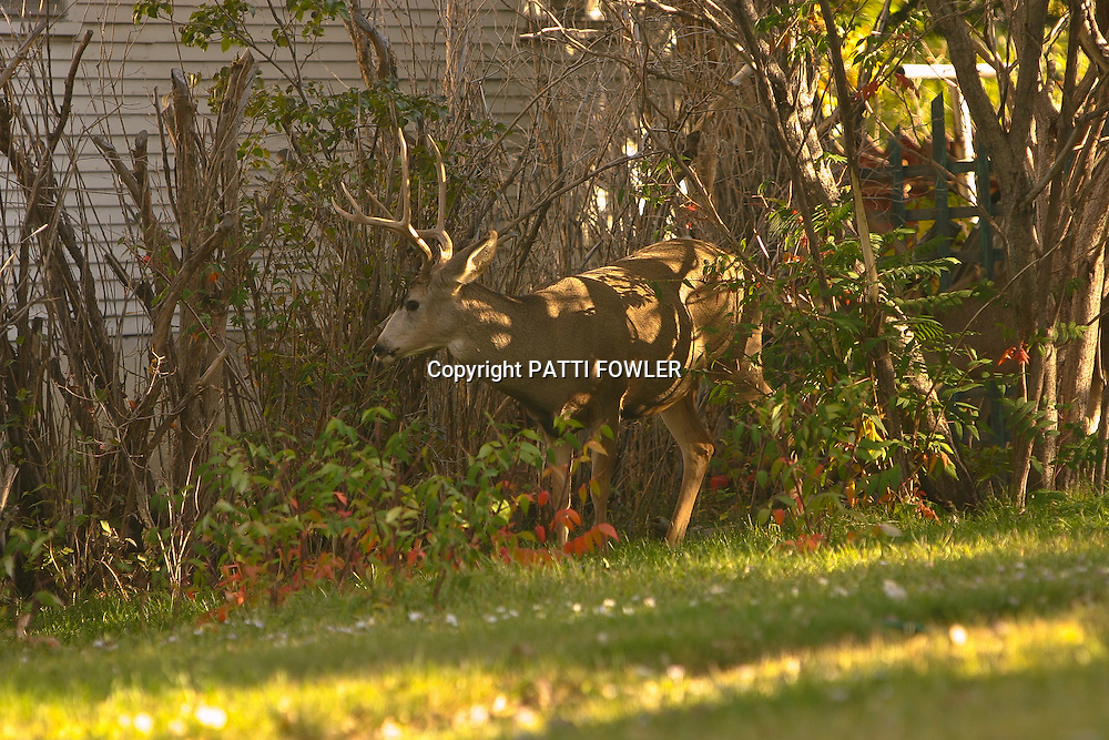 bucks (deer) in yard in town