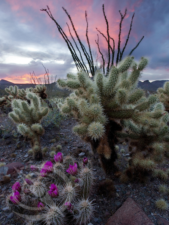 Vibrant hedgehog cactus blooms reach out to the setting sun in the Senoran Desert near Cave Creek, Arizona