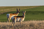 Pronghorns in a field near Hillsdale, Wyoming, on April 18, 2017.