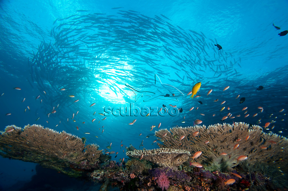 School of Anthias oevr Table Coral, silhouette of school of Chevron Barracudas, Sphyraena quenie, in 'Tornado' formation with diver in the middle in background, Sipadan, Sabah, Malaysia
