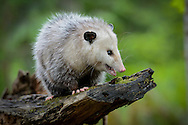 A Virginia Opossum overlooks the forest from the top of a rotten cedar log.