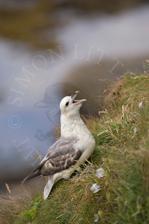 Northern Fulmar (Fulmaris glacialis) on cliff edge, Northumberland, England
