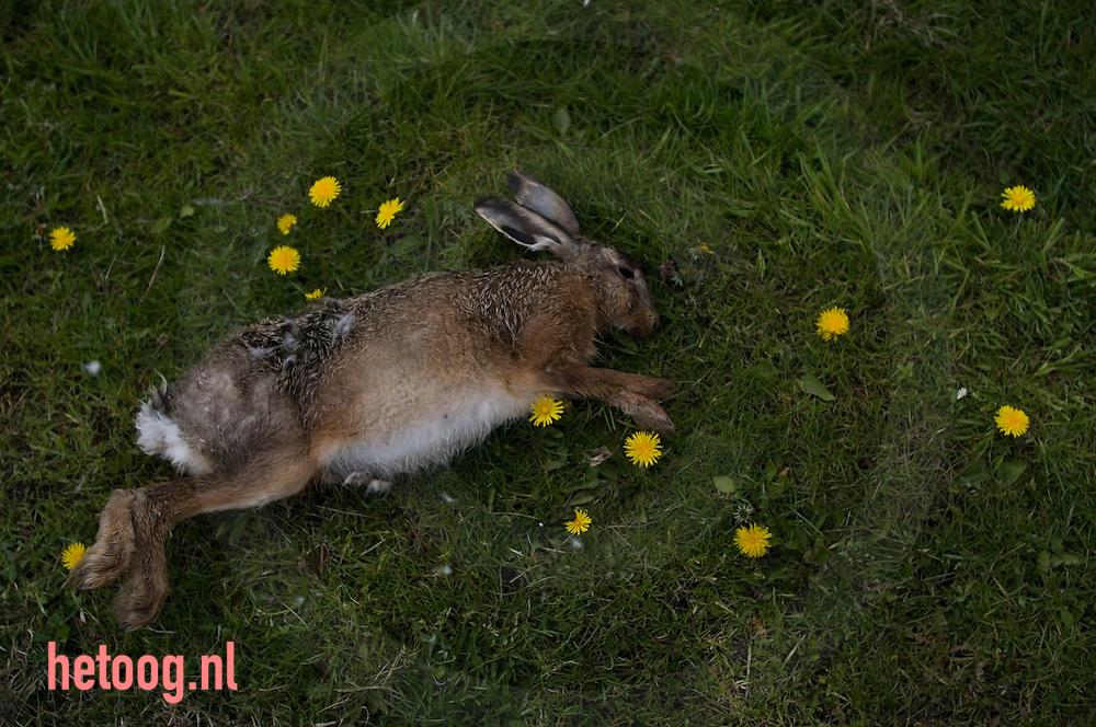 dode haas ligt in het gras tussen paardebloemen