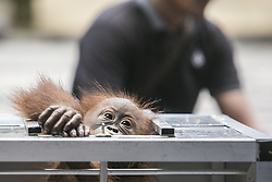 March 23, 2019 - Denpasar, Bali, Indonesia - Rescued two-years old male Borneo orangutan, which attempted to smuggle out of Indonesia, tries to climb from his cage in Denpasar, Bali, Indonesia on March 23 2019. Airport authorities arrested Russian citizen, Andrei Zhestkov who tries to smuggled an orangutan through Bali's Ngurah Rai International Airport by anesthetized and locked in fruit basket. (Credit Image: © Johanes Christo/NurPhoto via ZUMA Press)