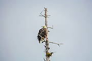 Bald Eagle in dead tree